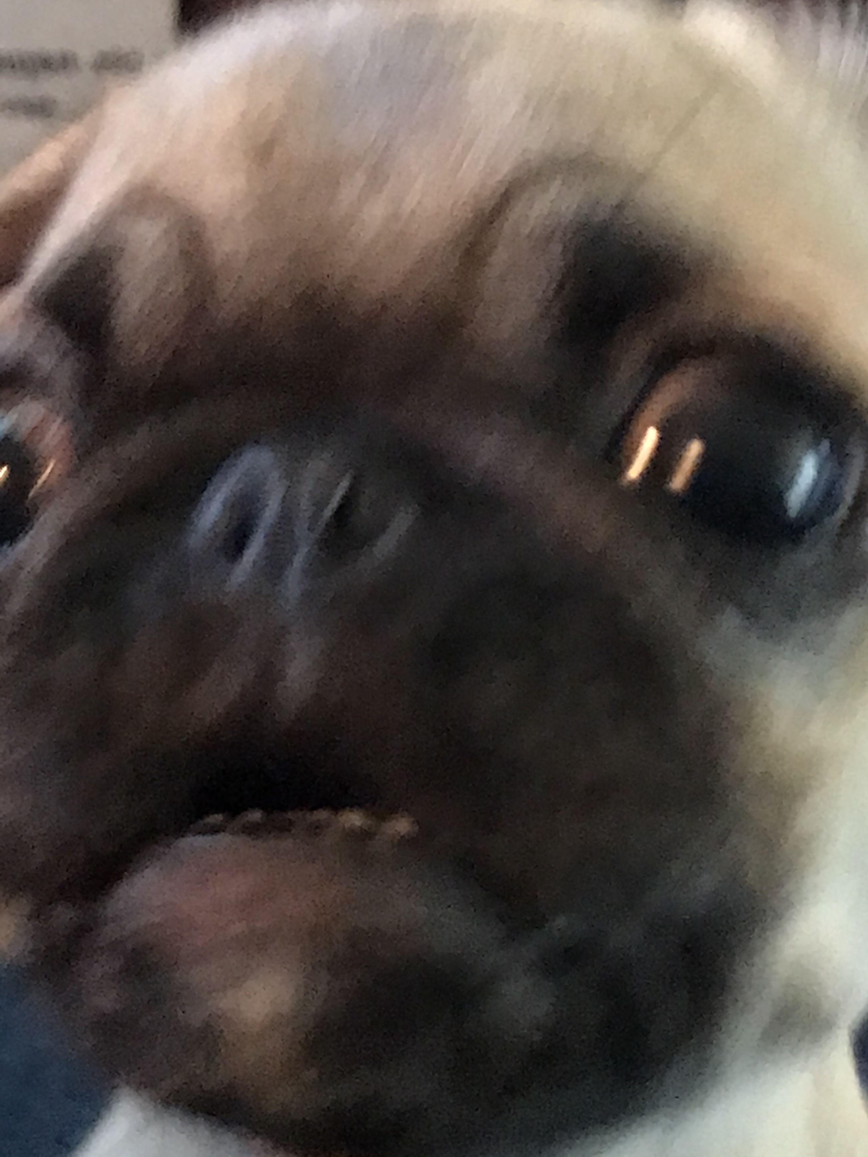 Her Frantic Begging Face Pugs Pug Love Dog Lovers