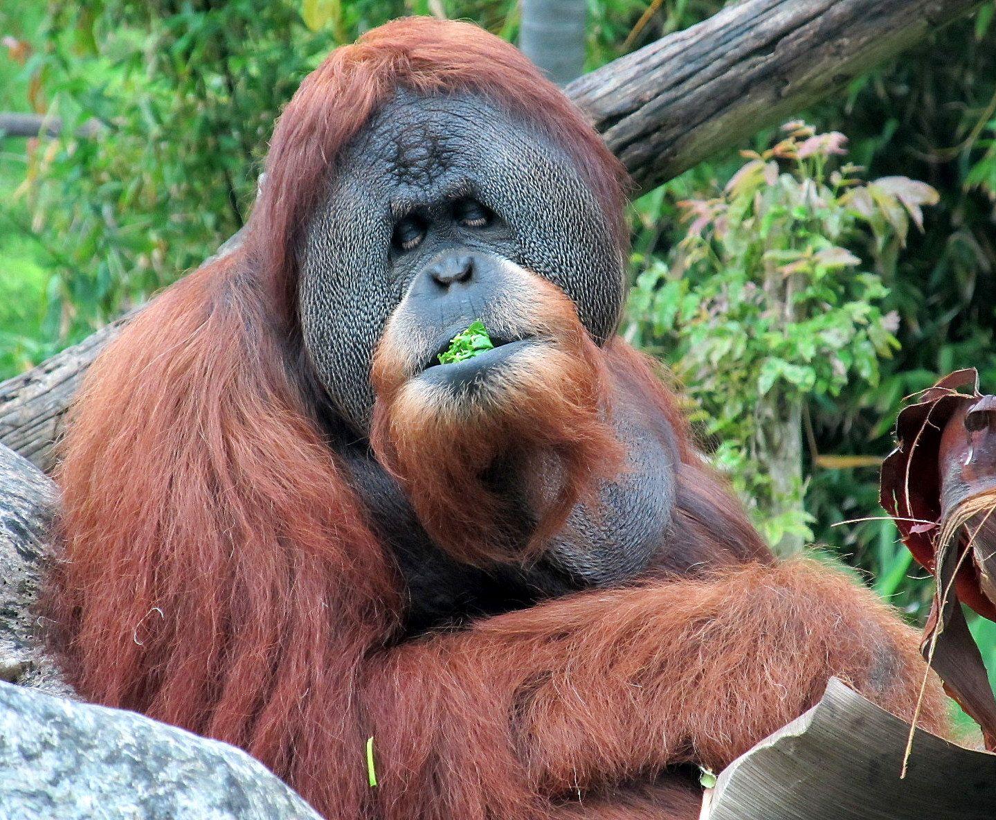 Adult gorillas live alone