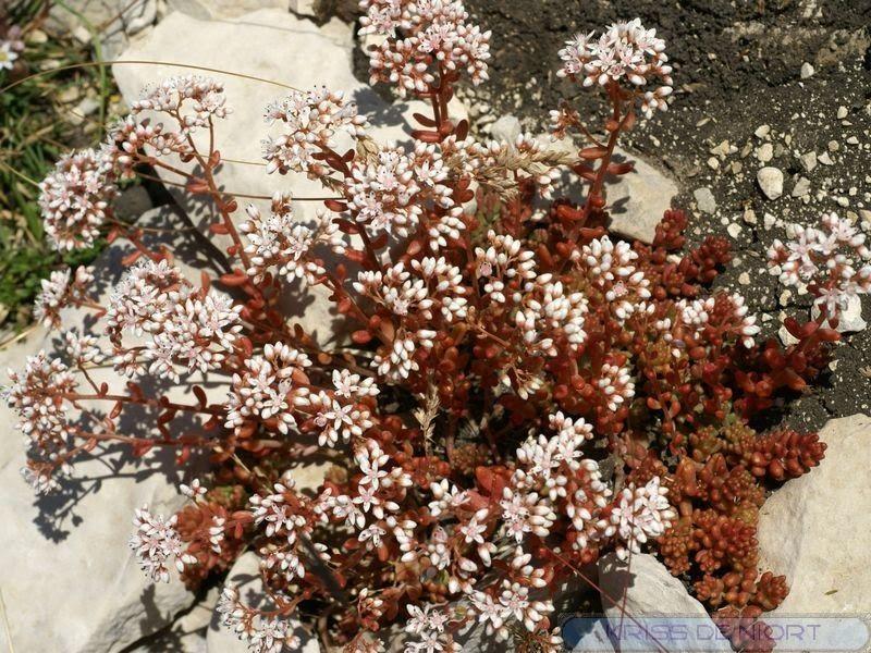 Photos De Plantes Succulentes Orpin Blanc Sedum Blanc Trique