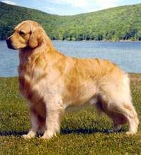 Three Cape Dogs Best In Breed With Images Dogs Golden