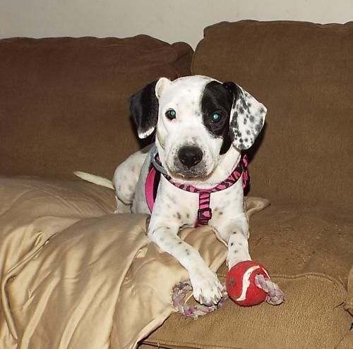 Petfinder Adoptable Searching Macaroni Forever Family Beagle