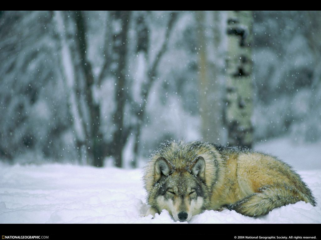 national geographic wolf the moment peace surrounds this