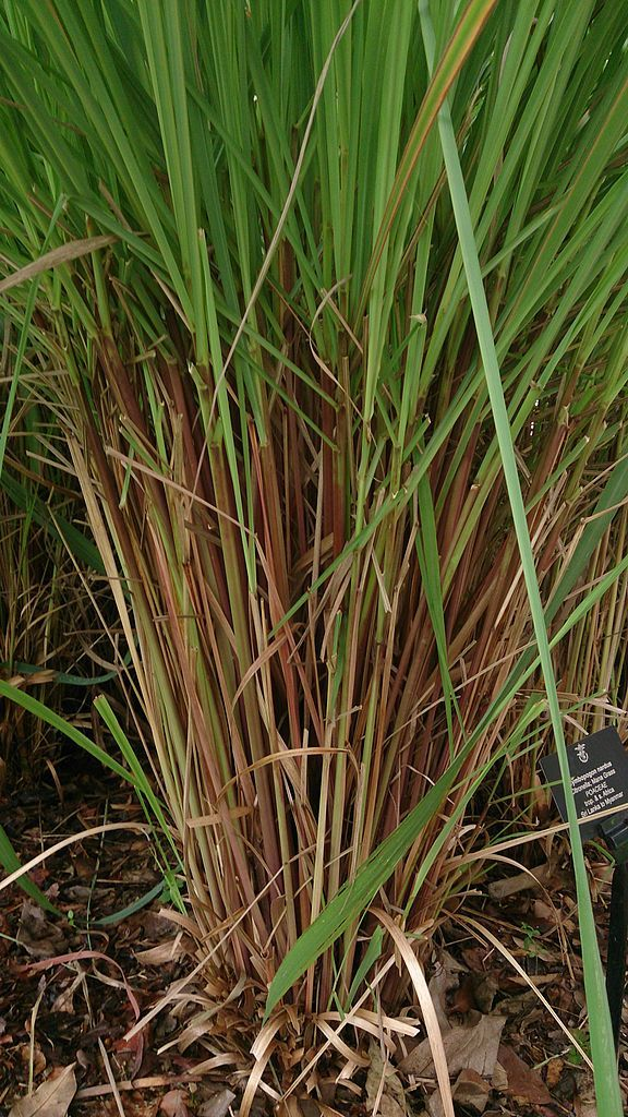 What Is Citronella Grass Does Citronella Grass Repel Mosquitoes