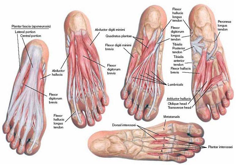 Músculos del pie | musculos | Pinterest | Músculos, Anatomía y ...