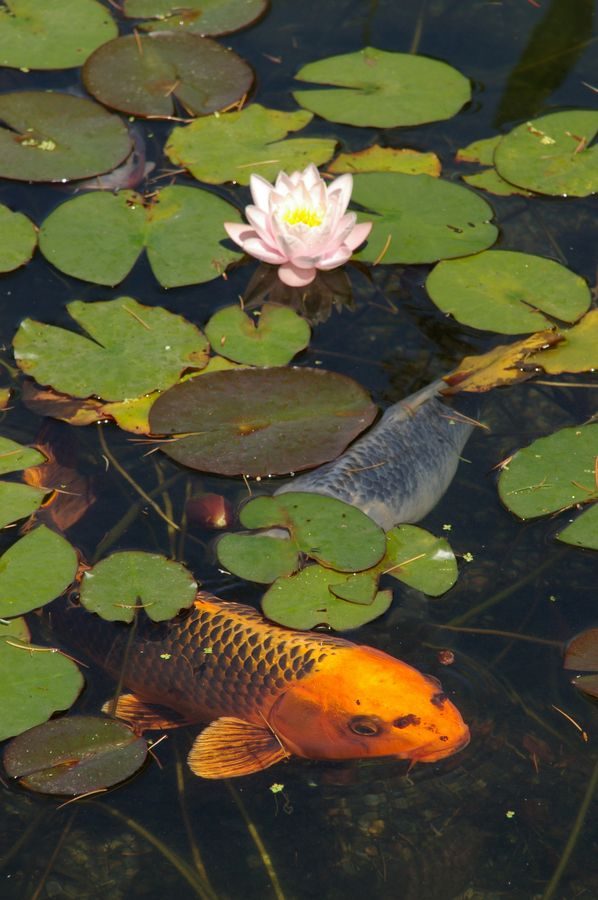Koi and waterlilies garden ponds water features for Pintura para estanques
