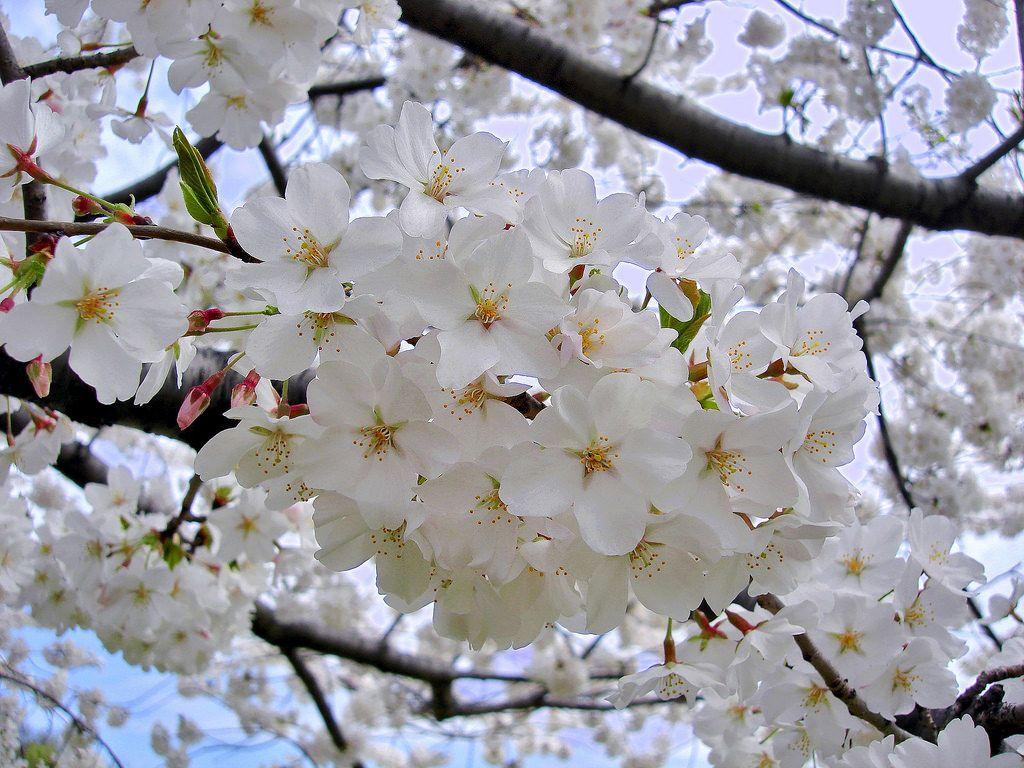 U S Tourist Attractions Yoshino Cherry Tree Flowering Cherry Tree Yoshino Cherry