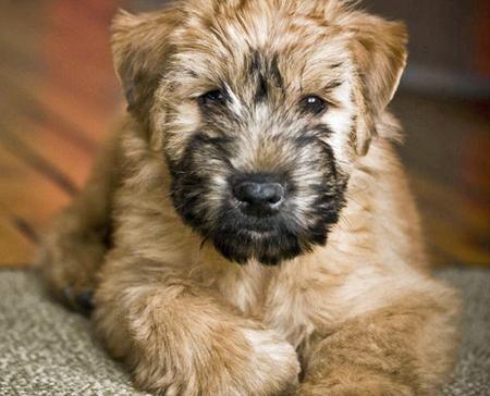 Soft Coated Wheaten Terrier Boy Wyatt Clint Corbin Girl Sperry