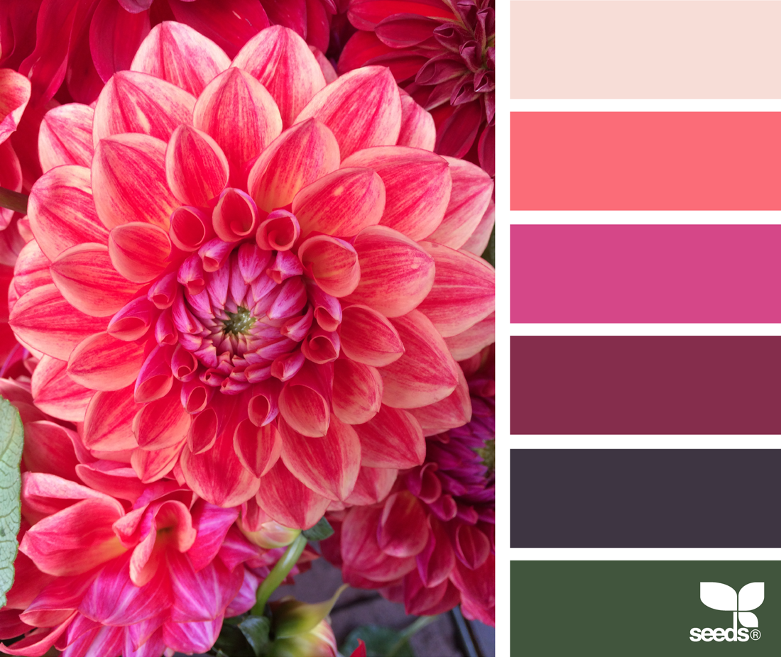 Dahlia brights cooircharts pinterest color design seeds and