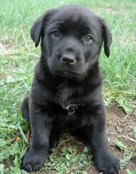 Stella The Mastiff Mix Puppies Daily Puppy Mastiff Mix Cute Puppy Names Mastiff Puppies