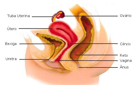 Sistema Genital Feminino Exercicios Kegel Aula De Anatomia