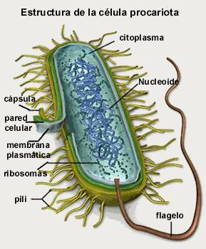 Celula Procariota Células Procariotas Procariota Celula Eucariota