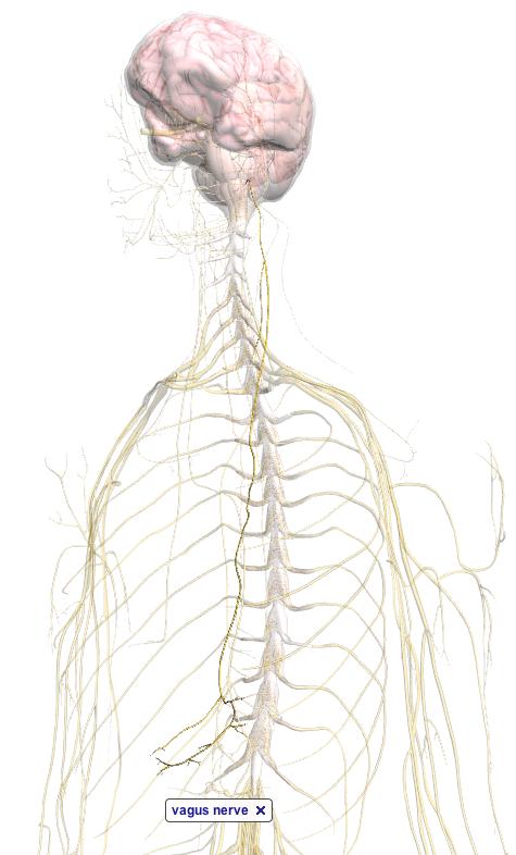 Vagus Nerve Body Browser By Google Neuroradiology Pinterest