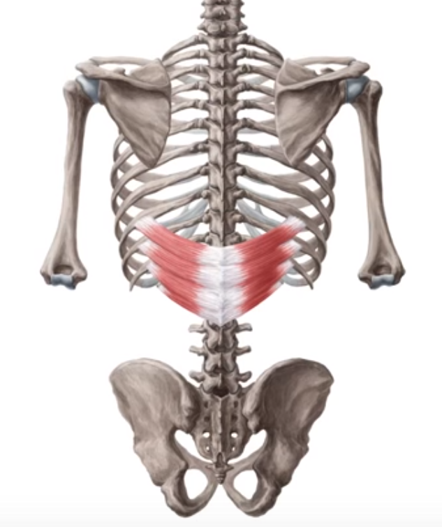 serrato-posterior-inferior | anatomia_izo | Pinterest | Dorsales ...