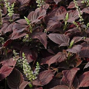 Dark Chocolate coleus - Annual Flower Seeds.