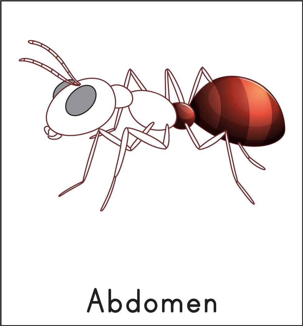 Ant 3-Part Cards | Ant and Montessori