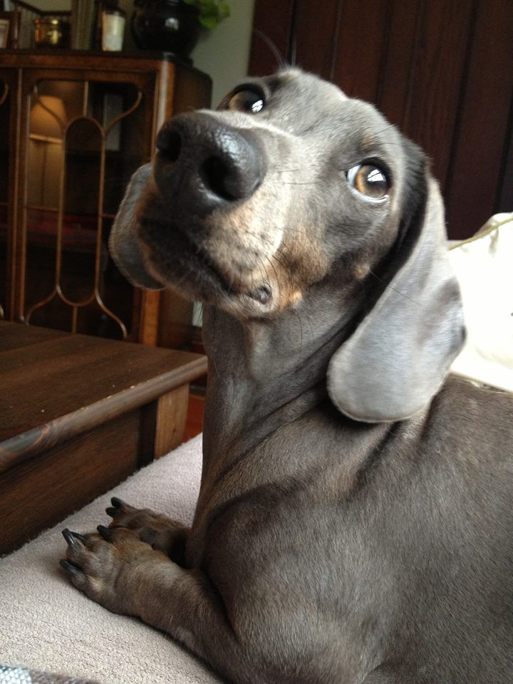 This is Blue from Vancouver, BC! via Gustav's Dachshund