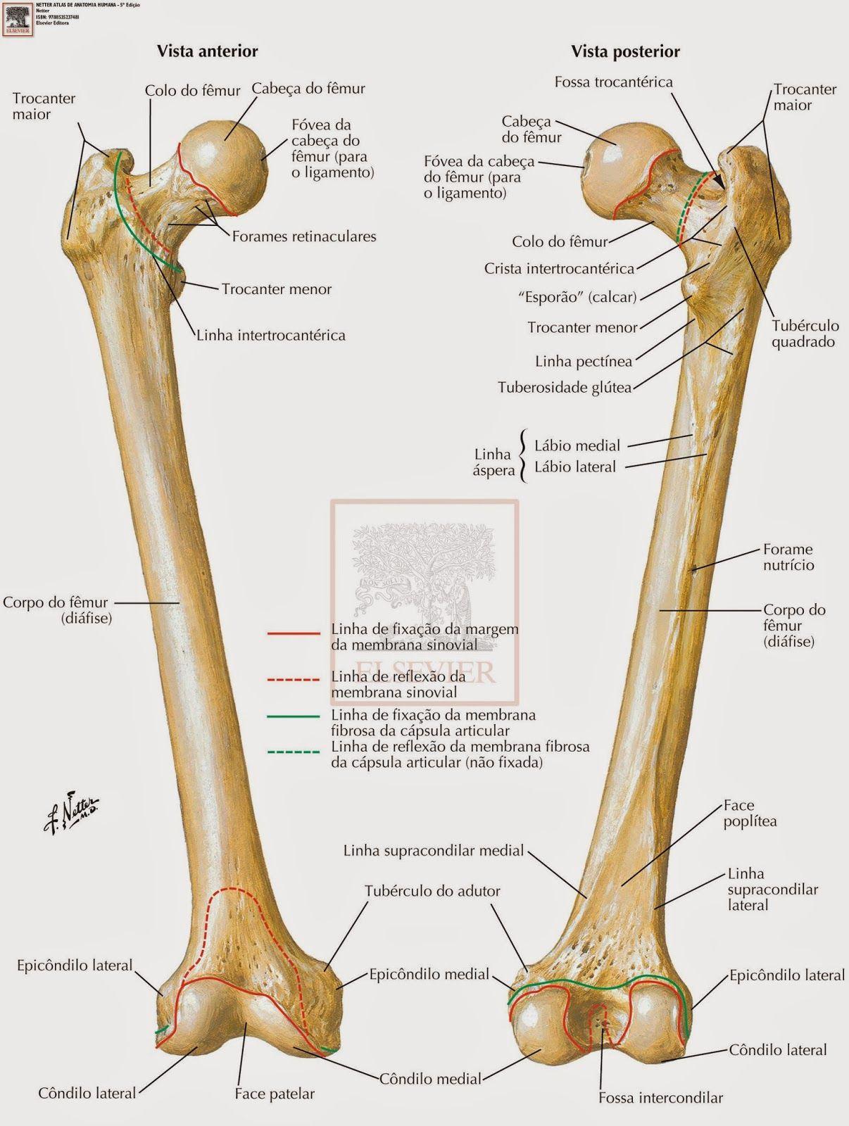 Membro Inferior Anatomia Dos Ossos Anatomia Medica Anatomia
