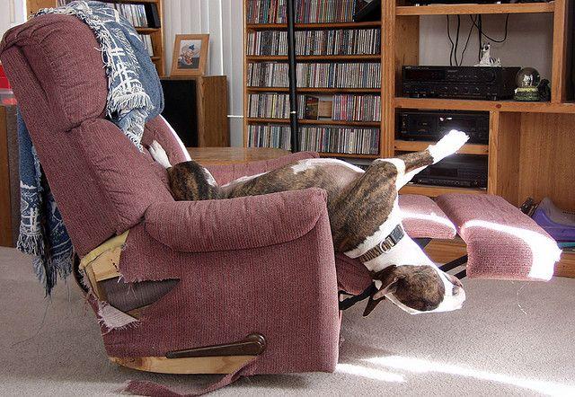 Bull terriers can sleep anywhere