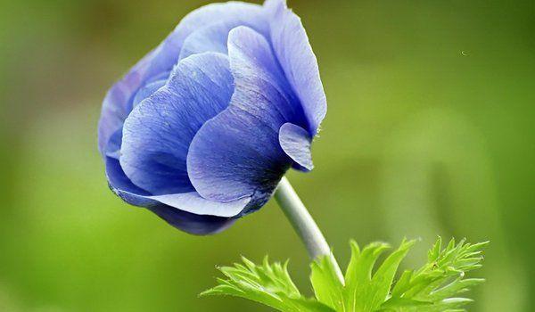 Обои на рабочий стол: зелёный фон, синий, цветок ...