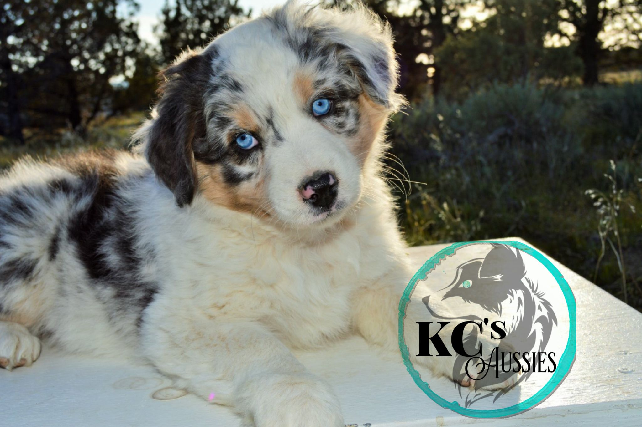 Miss Sophie Aussie Puppies Blue Merle Aussie Puppies
