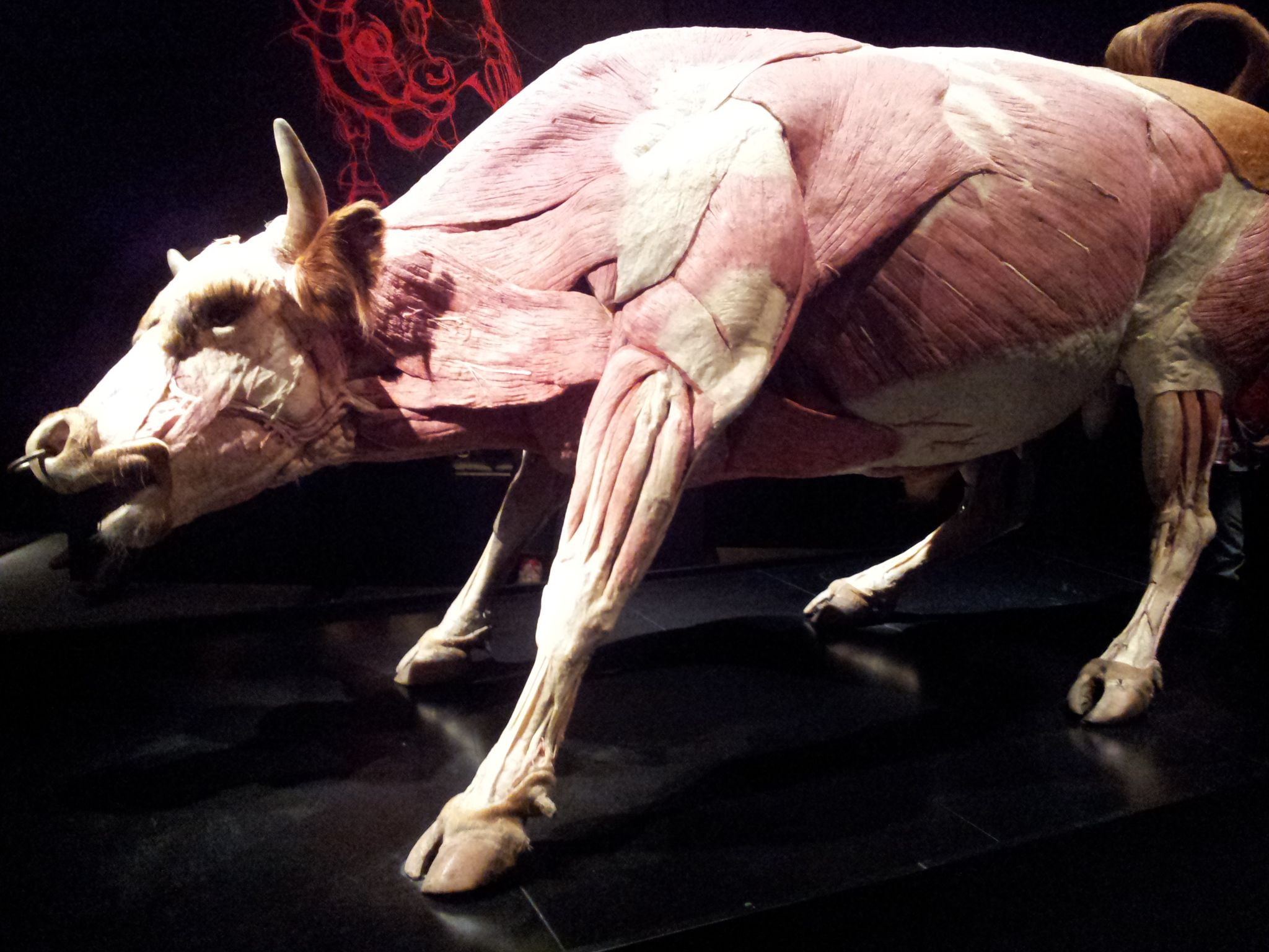 bull NHM AIO   Modeling Reference   Pinterest   Animal anatomy ...