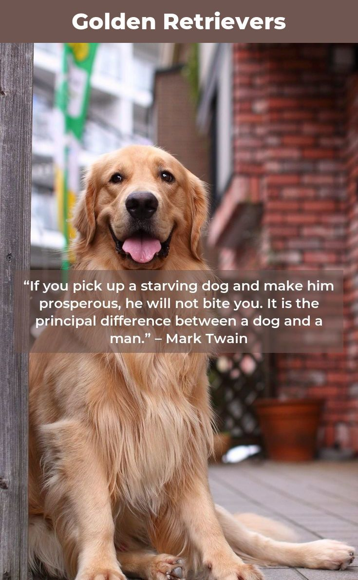 golden retriever puppy goldenretrieverofinstagram