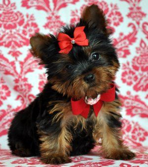 Oh.... (With images) Teacup yorkie puppy, Yorkie puppies
