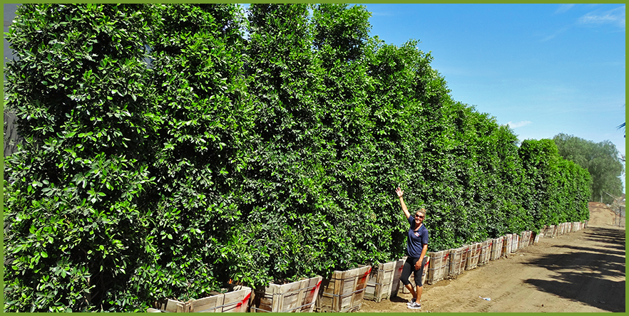 Top 5 Hedge Material For Homes In Arizona Nevada And Southern California Ficus Anese Blueberry Carolina Cherry Bottlebrush Wax Leaf Privet