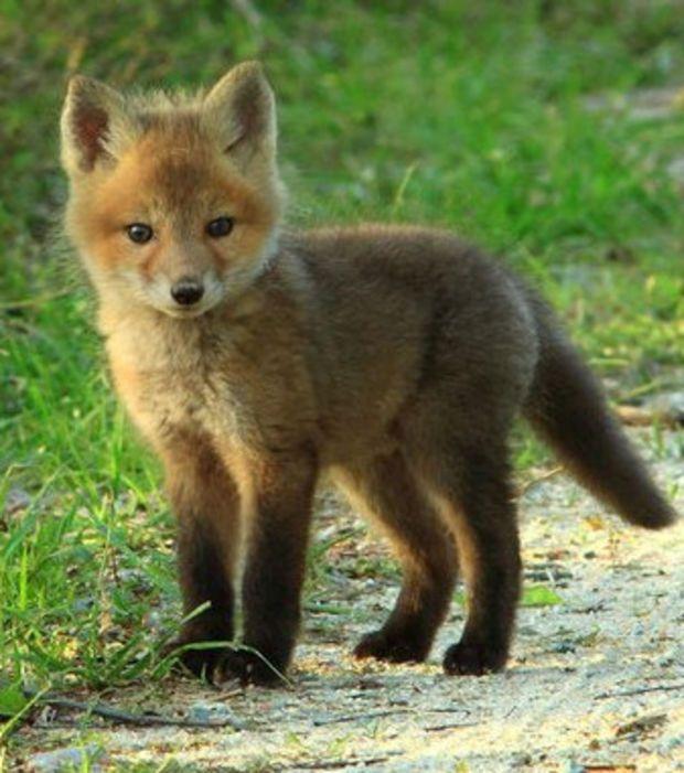 R sultat de recherche d 39 images pour photo de renard - Renard mignon ...
