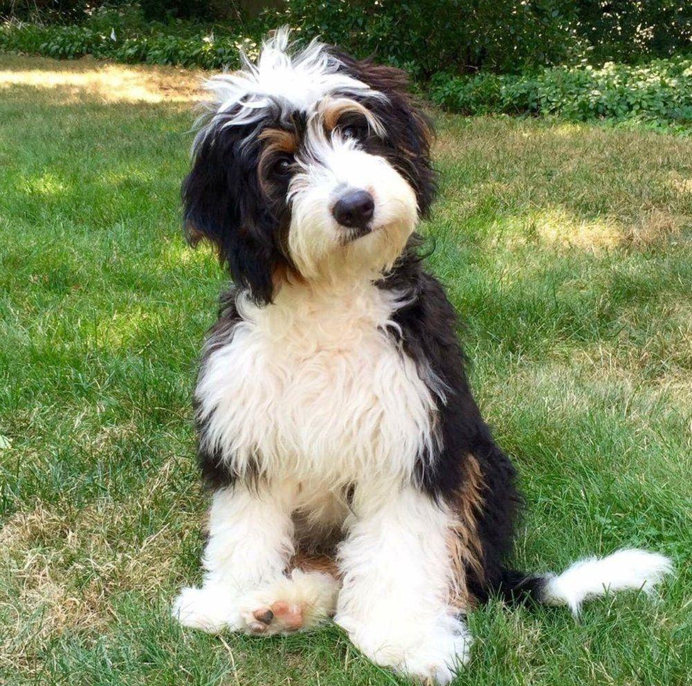 Deposit Information Pricing Master List Sheep Dog Puppy