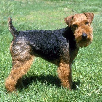 Welsh Terrier Love this breed, we rescued Lucy, now we