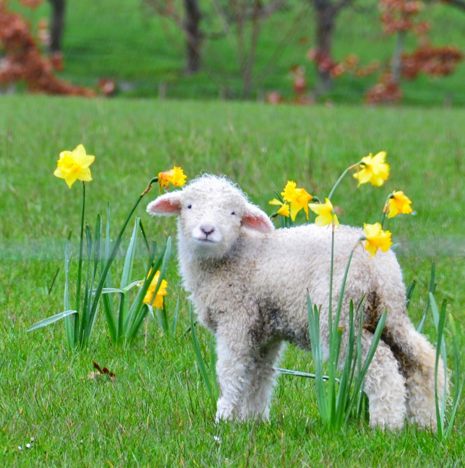 The Polohouse: Blessed Easter Greetings, sweetest ever | Animals ... for baby lamb in spring  300lyp