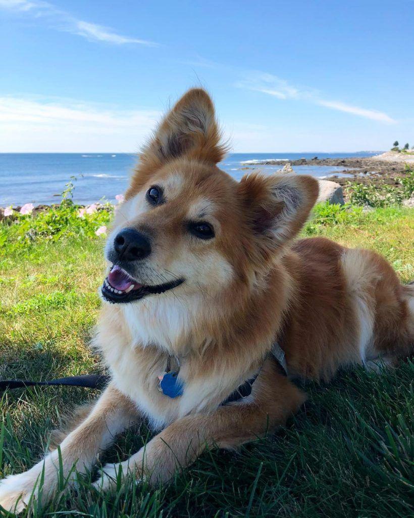 Golden Retriever Mix Study By Doggypedia | Golden