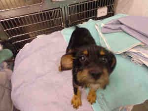 Georgia Urgent Id A060830 Is A Wirehaired Dachshund Doxie