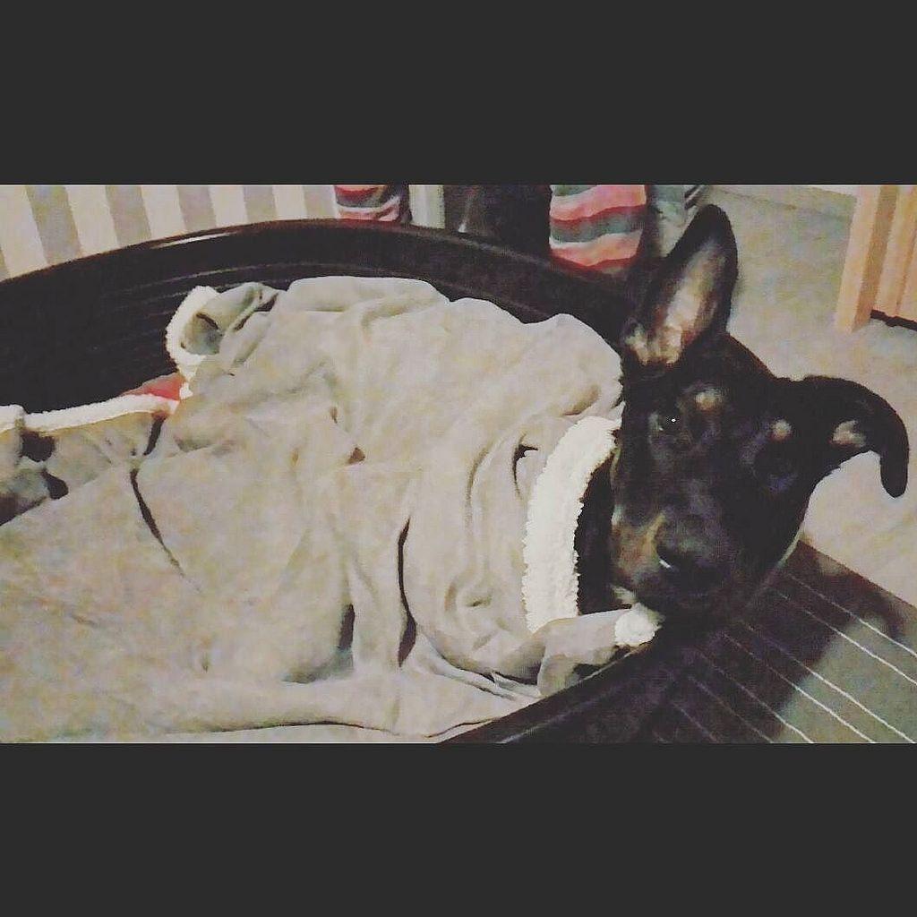 My bedtime routine; Nighty night folks  #beauceron #meowvswoof #sheperdsofinstagram #dogsandpals #dogsofinstaworld #dogsofinstagram #instapuppy #instadog #instadogofficial #puppygram #pupstagram #puppiesofinstagram #puppystagr
