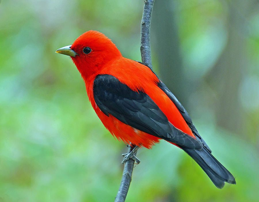 This beautiful Scarlet Tanger was photographed in a mature forest in Auburn Hills, Michigan. Description from fineartamerica.com. I searched for this on bing.com/images