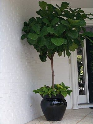 Fiddle Leaf Fig Tree Plants Pinterest Planters Front Porch