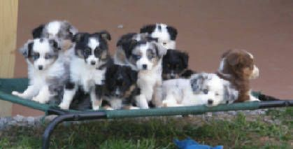 Puppies For Sale At Justa Little Aussie Toy Australian Shepherd