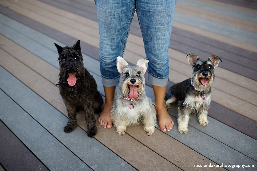 Schnauzer Madness Austin Tx Pet Photographer Smartest Dogs Mini Schnauzer Puppies Dog Friends