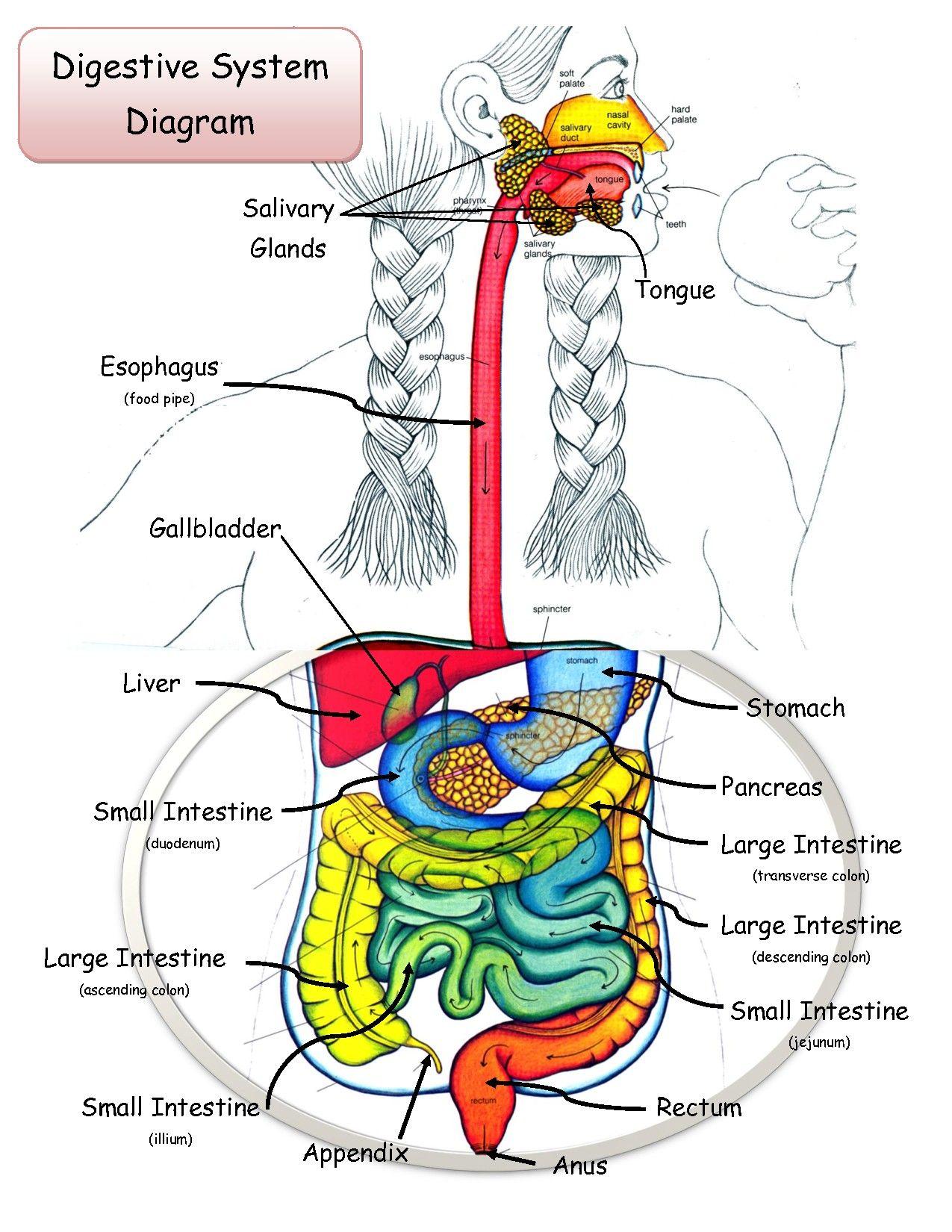 human-digestive-system-diagram.jpg (1275×1650)   Digestive System ...