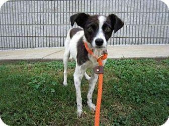Adopt A Pet Fergie Atlanta Ga Jack Russell Terrier