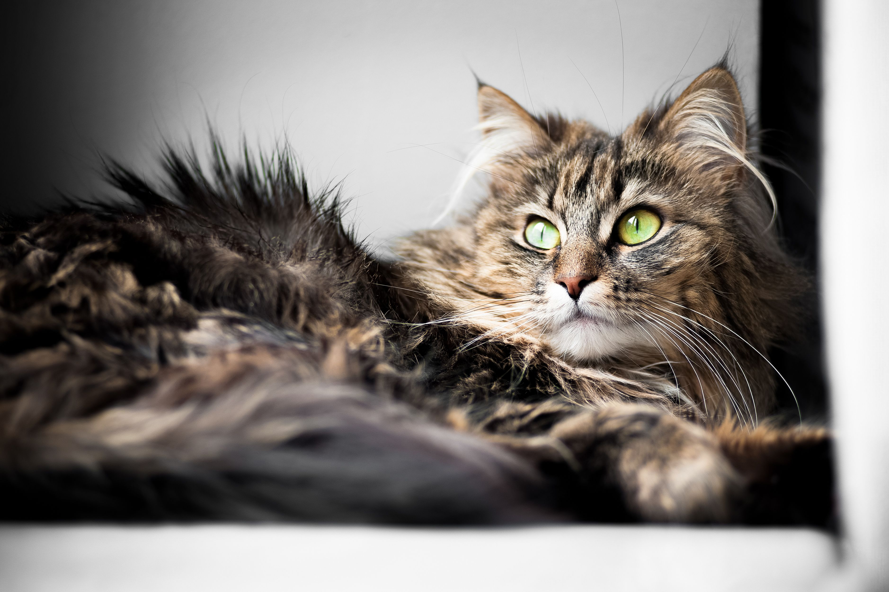 Pin On Norwegian Forest Cats