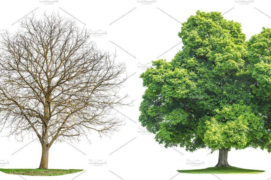 Green Oak Tree Png Transparent Green Oaks Oak Tree Green