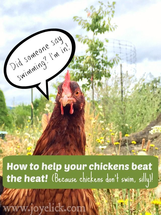 How to keep chickens cool in summer's heat.   Chickens ...