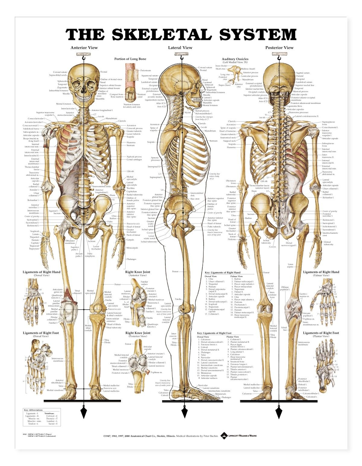 human skeletal system — anatomy references for artists | anatomy, Skeleton