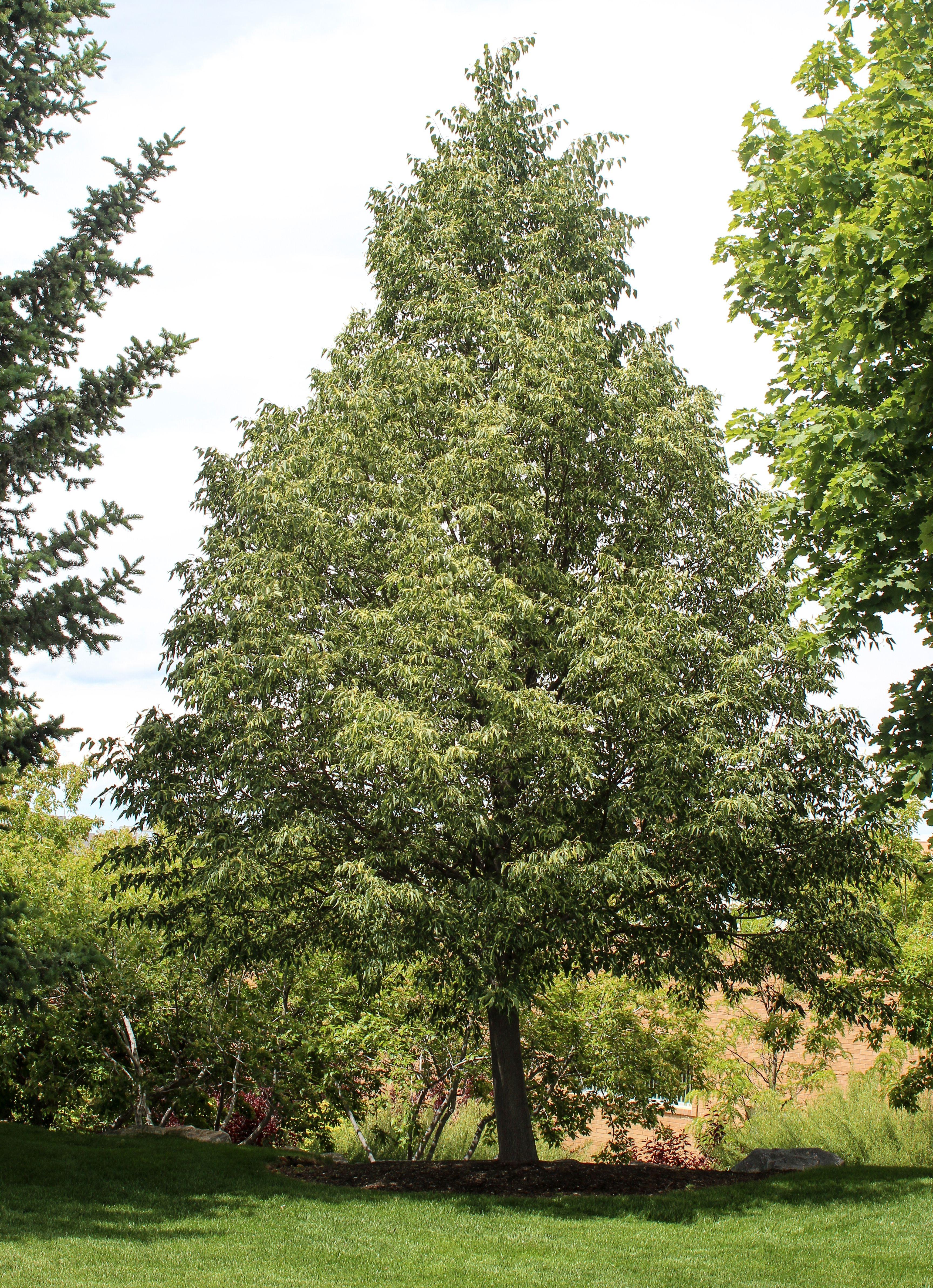 1 Little Leaf Linden Shade Trees Street Trees Flowering Trees
