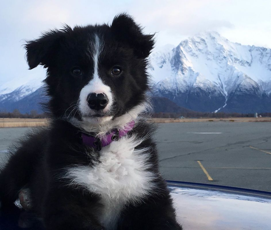 Stunning Black And White Border Collie Puppy In Alaska With Snow Covered Mountains In The Background Bordercollie Honden