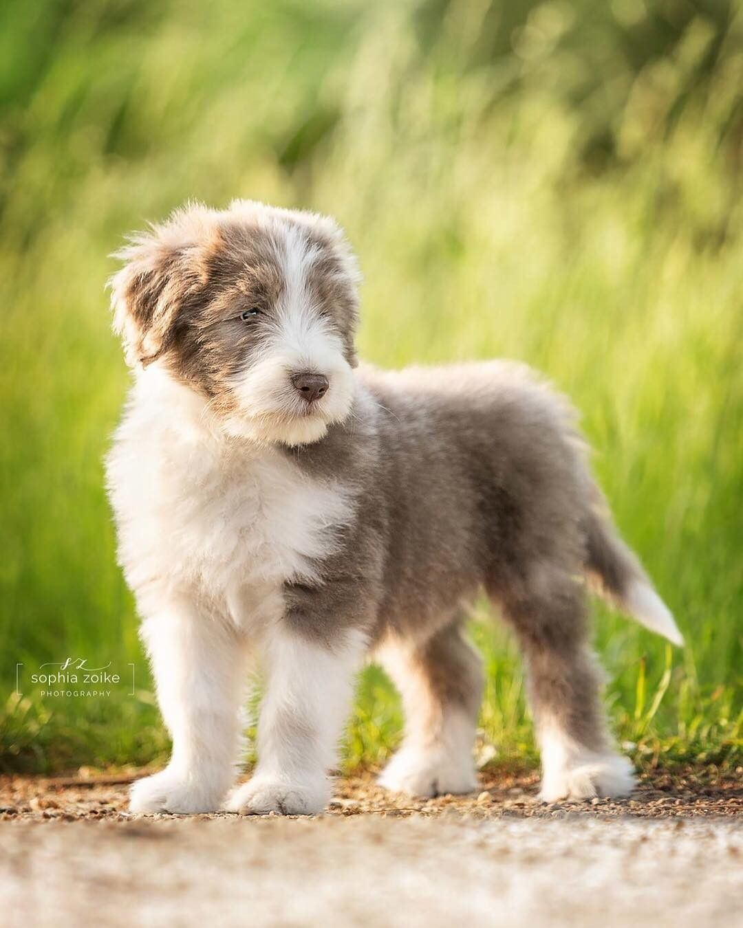 Silver 3 Months Old Bearded Collie Beardedcollie From Germany