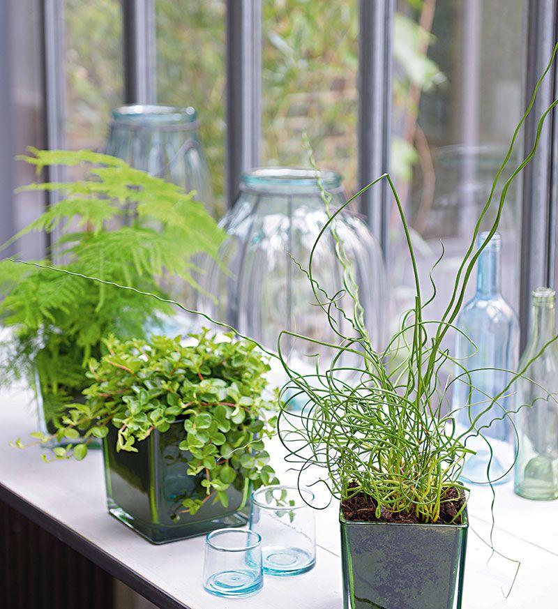 Asparagus plumosus peperomia rotundifolia juncus for Plante truffaut