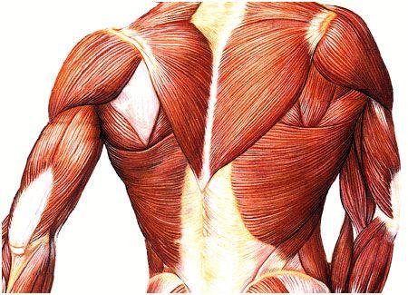 Funções dos músculos agonistas, antagonistas | Biomecánica ...